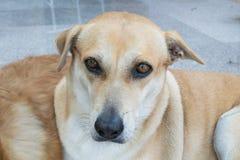 Oeil de chien Image libre de droits