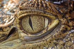 oeil de crocodile Image stock