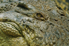 Oeil de crocodile Photos stock