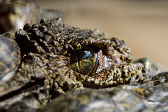 Oeil de crocodile Photographie stock