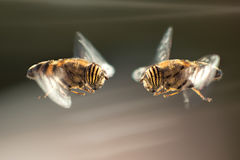 Oeil de deux Hoverflies à observer en Andalousie, Espagne Photos libres de droits