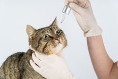 Oeil de festin Le chat est malade maladie oculaire chez le chat Cat Eyes images libres de droits