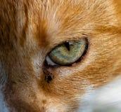 Oeil de Ginger Cats comme plan rapproché photo libre de droits