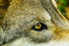 Oeil de Gray Timber Western Wolf Yellow photographie stock libre de droits