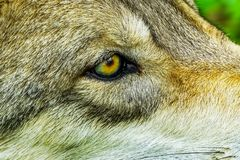Oeil de Gray Timber Western Wolf Yellow images libres de droits