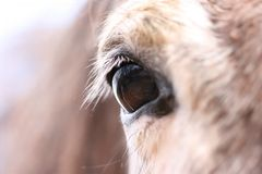 Oeil de Horse´s Photo stock