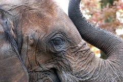 Oeil de l'éléphant photographie stock libre de droits