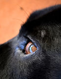 Oeil de Labrador X Photo stock