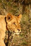 Oeil de lions Photos libres de droits