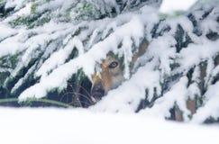 Oeil de loup sous l'arbre Photos libres de droits