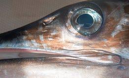 Oeil de Marlin rayé - sur le bateau de pêche de charte en Cabo San Lucas Baja California Mexico Image stock