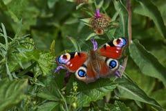 Oeil de paon de jour de papillon Images stock