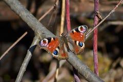 Oeil de paon de jour de papillon Images libres de droits