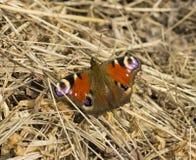 Oeil de paon de papillon Image libre de droits