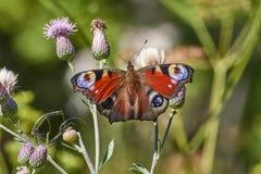 Oeil de paon de jour de papillon sur la feuille Photographie stock libre de droits