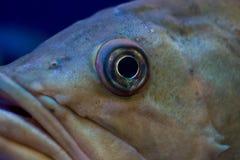 Oeil de poissons Images libres de droits
