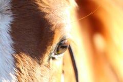 Oeil de poulains Photos stock