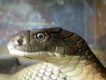 Oeil de serpent Image stock