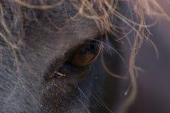 Oeil de Shetland Images stock