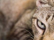 Oeil de Tabby Cat Images stock