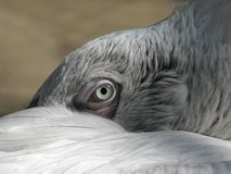 Oeil du pélican Image libre de droits