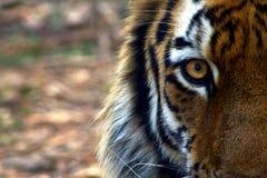 Oeil du tigre images stock