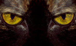 Oeil du tigre Image libre de droits