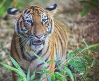 Oeil du tigre Photographie stock