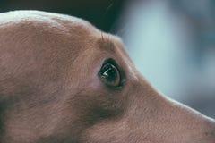 Oeil en gros plan d'un chien de lévrier italien Photos libres de droits