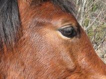 Oeil et profil de cheval Image stock