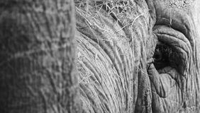 Oeil gauche d'éléphant Image libre de droits