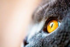 Oeil jaune d'un chat britannique gris Photographie stock