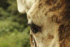 Oeil magnifique de girafe Image libre de droits