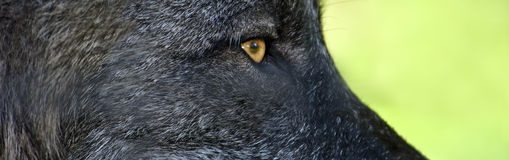 Oeil noir de loup Photo stock