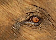 Oeil pleurant d'Elephant de veau Images stock