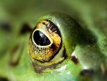 Oeil regardant fixement d'une grenouille verte Photographie stock libre de droits
