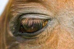 Oeil rouge de horse'e Image stock