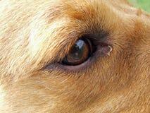 Oeil tiré d'un chien de Labrador photos libres de droits
