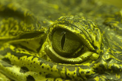 Oeil vert d'un alligator vert Photos libres de droits