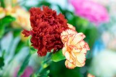 Oeillet coloré Photo stock