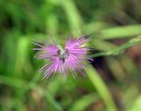 Oeillet de gisement de fleur Photographie stock