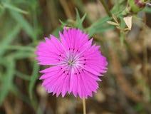 Oeillet de gisement de fleur Photos stock