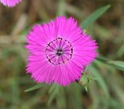 Oeillet de gisement de fleur Photo libre de droits