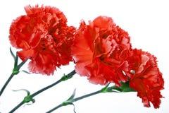 Oeillet de trois rouges sur un fond blanc Image stock