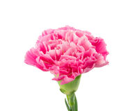 Oeillet rose Photo stock