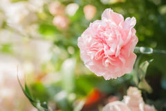 Oeillet rose photographie stock