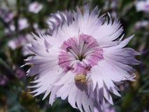Oeillet rose Photo libre de droits