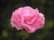 Oeillet rose Images stock