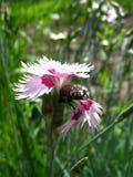 Oeillet rose et petit scarabée là-dessus Image libre de droits