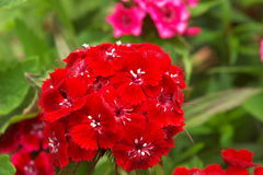 Oeillet rouge Photos stock